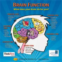 10-4891 Brain Function Tabletop Display - Customized Sample