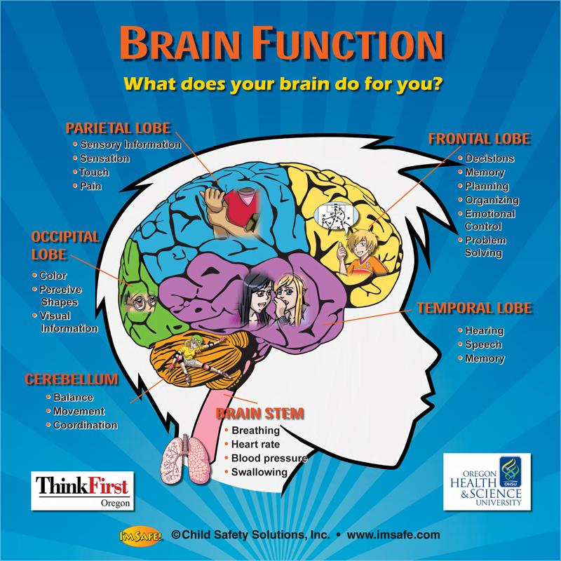 10-4891 brain function tabletop display | i'm safe, Human Body